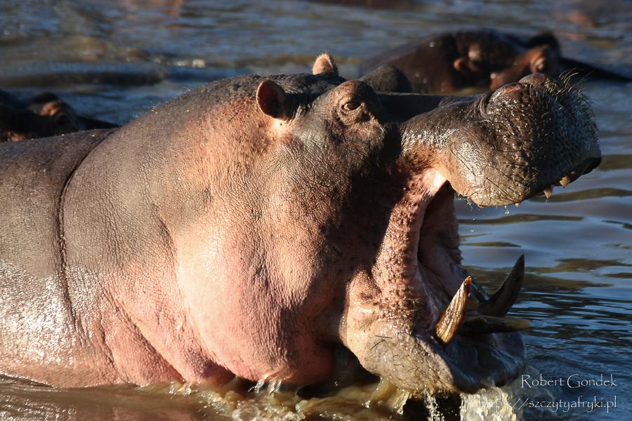 hipopotam w wodzie z otwartą paszczą