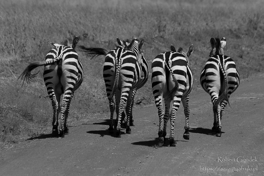 cztery zebry biegną ubitą drogą widok z tyłu